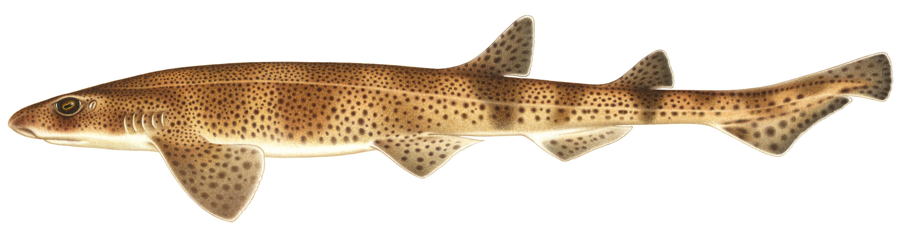 brosk-Smaflackig-rodhaj-Scyliorhinus-canicula-bild-Linda-Nyman
